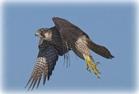 Hunter (Falcon Form) (Shifters)